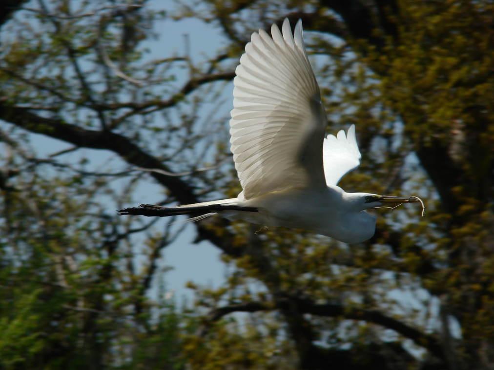 Nesting Great Egret in Flight