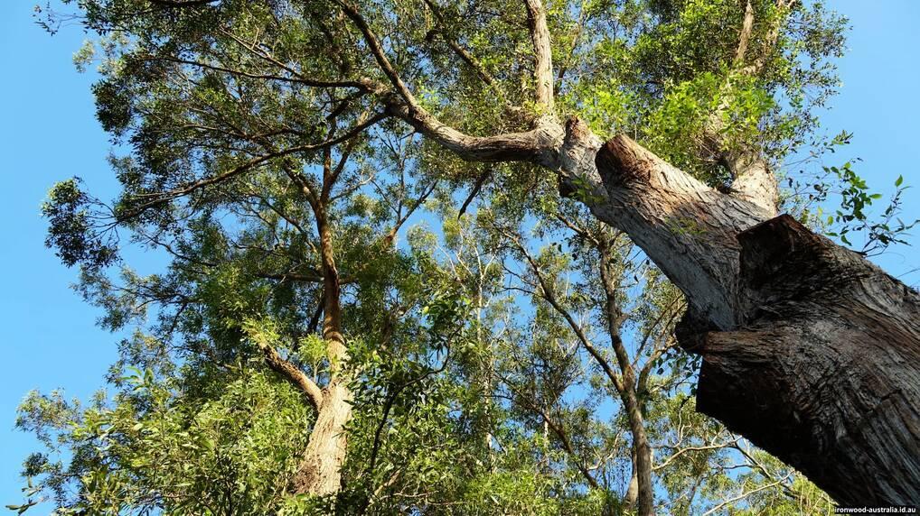 Native Australian Ironwood trees