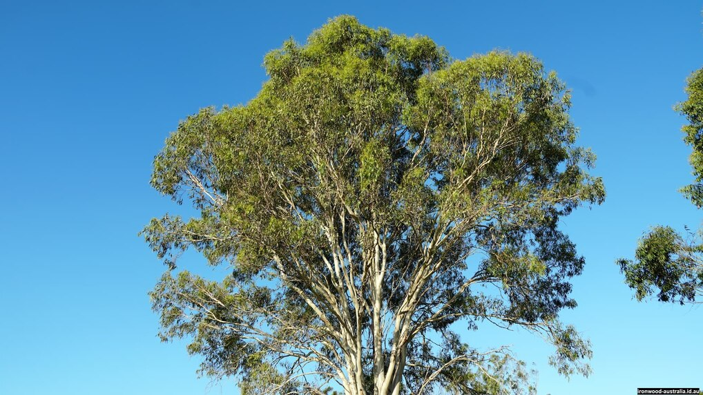 Native Australian Ironwood tree