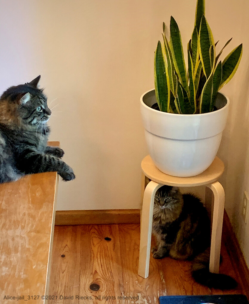 """Frodo stares out the window, doing his best to ignore Alice who has put herself in """"stool jail"""" in the corner of the dining room, under a stool holding a snake plant."""