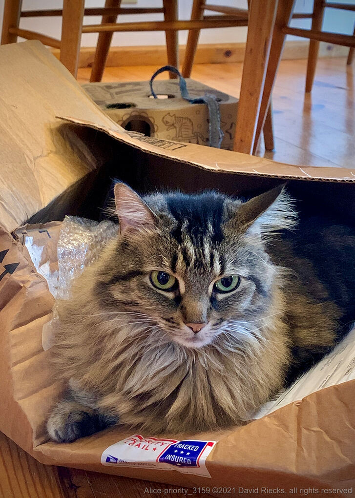 Our gray tabby cat, Alice, has claimed this Priority Mail Tracked and Insured package as her own.