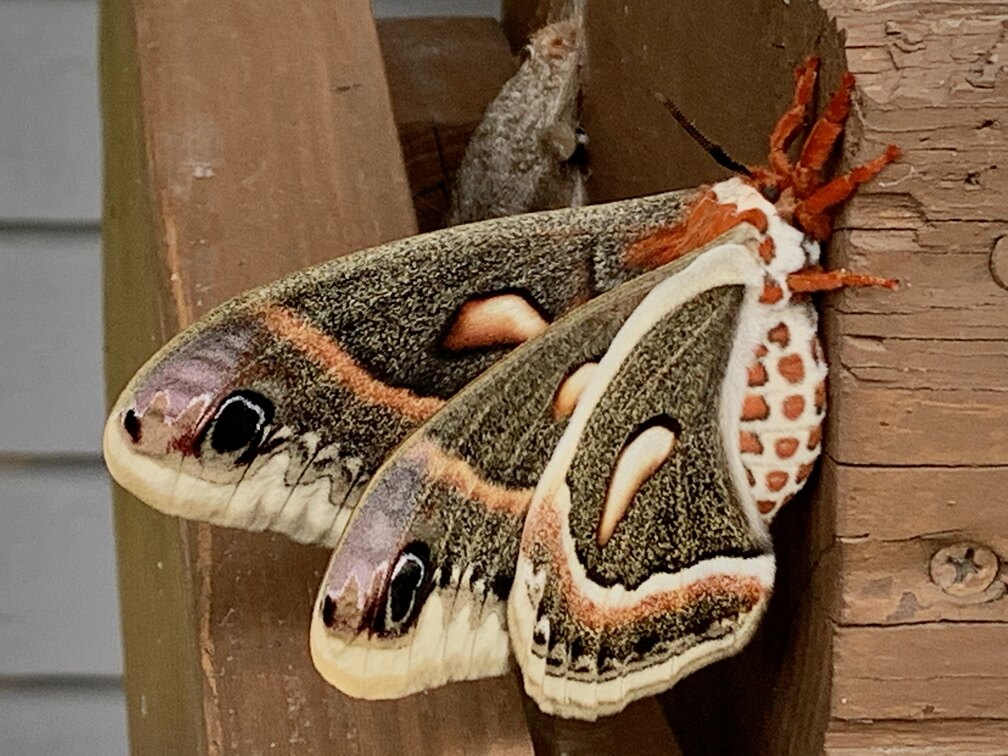 Close up of a Cecropia moth shortly after emerging from cocoon.