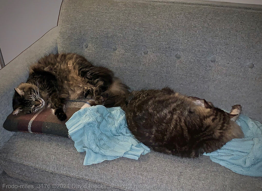 Two long-haired tabby cats, Miles and Frodo, are sleeping on a couch.