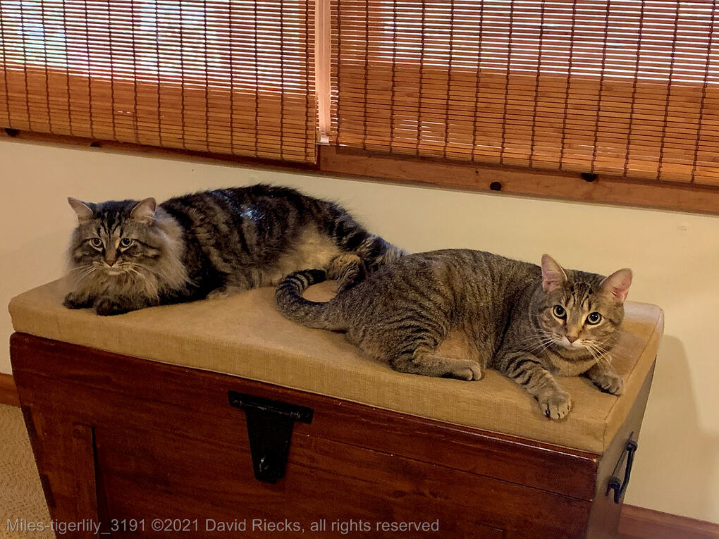 Two tabby cats, Miles and Tigerlily, are relaxing on a cushion on top of a wooden chest.