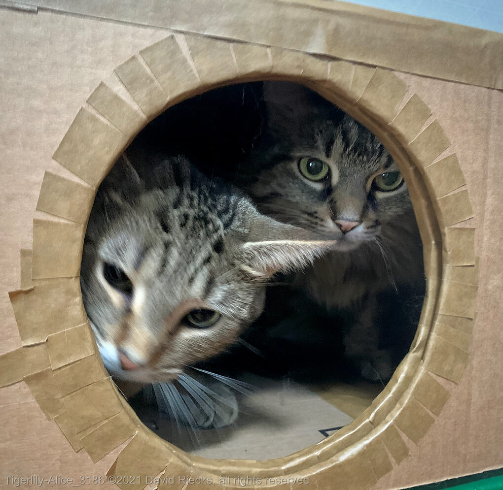 Two tabby cats, Tigerlily and Alice are both inside a cardboard box looking out through a porthole.