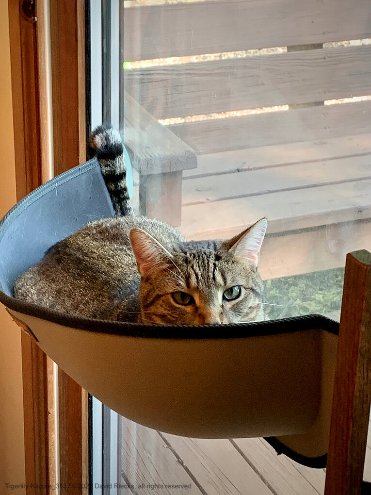 Tigerlily gives a stare from her perch in the window cat hammock.
