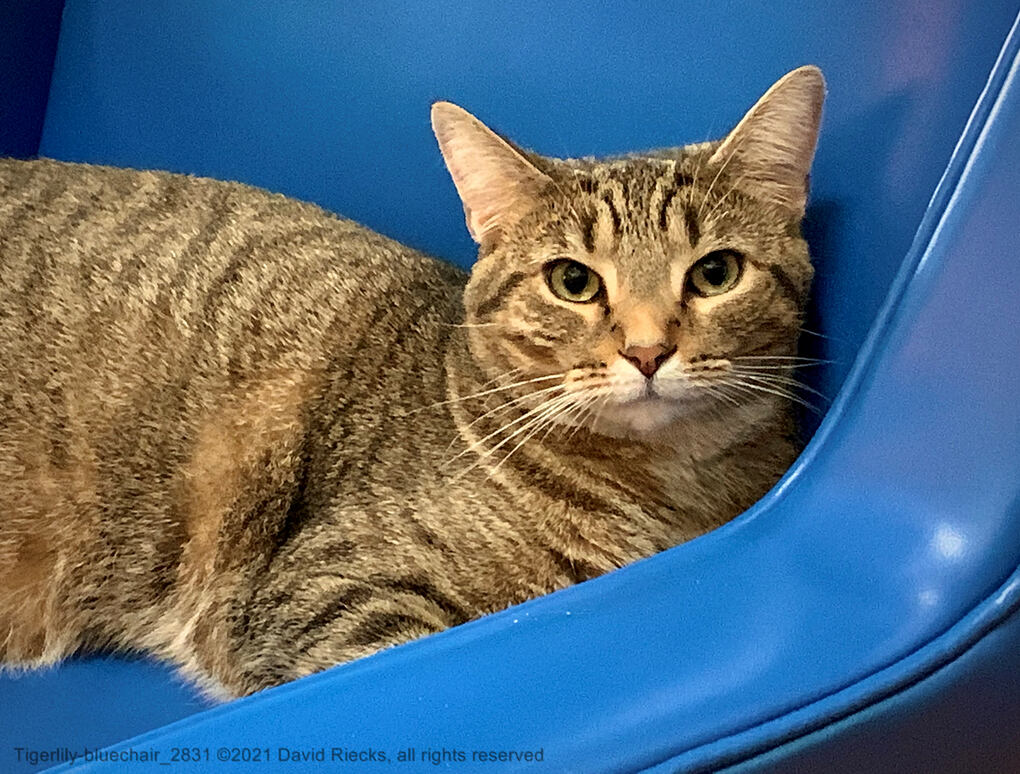 Tigerlily poses on a blue chair.