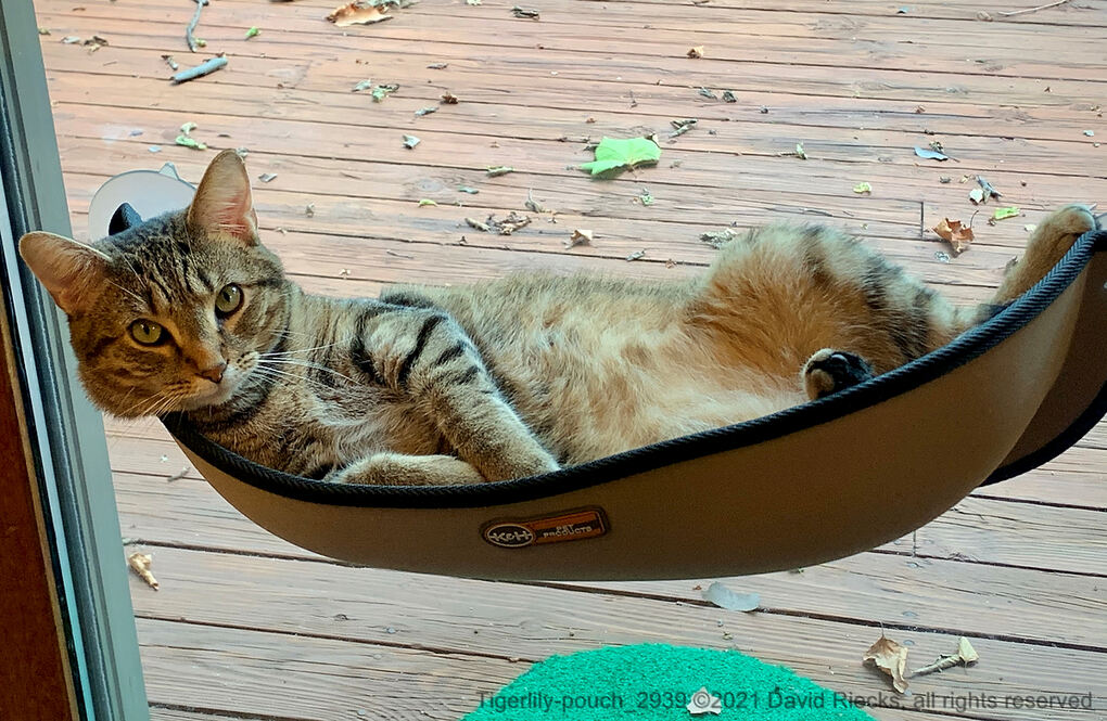 Our tabby cat Tigerlily hanging out in a cat hammock hanging via suction cups from a window.