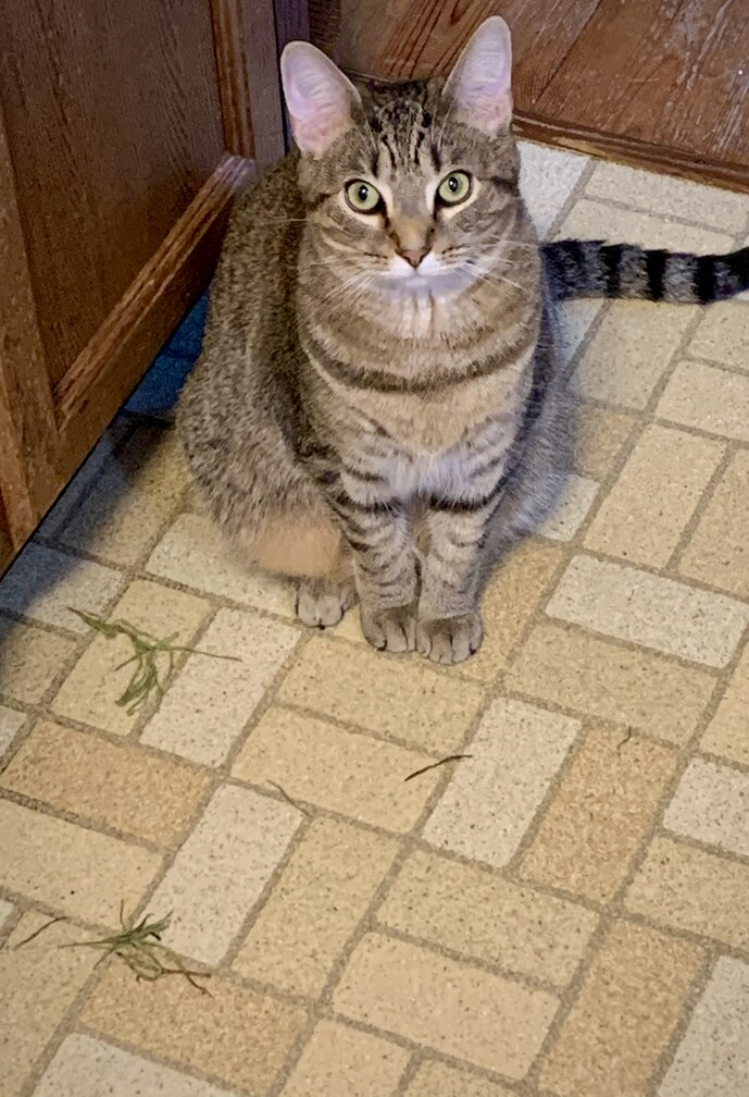 """Tabby kitten Tigerlily gives her, """"I don't know anything about this green stuff on the floor"""" when busted."""
