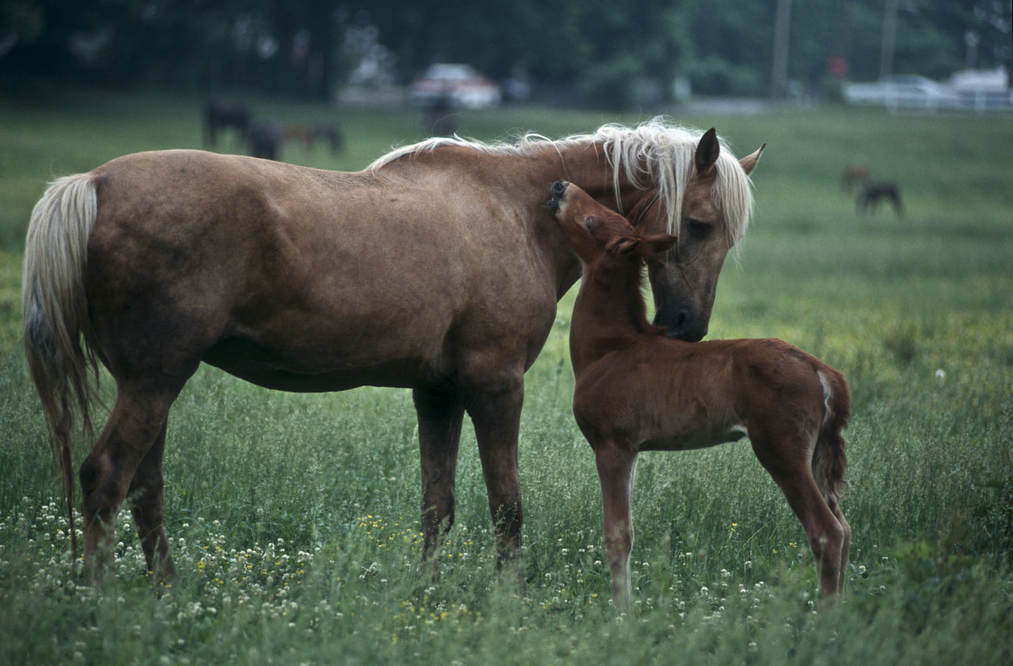 Mare with foal in pasture