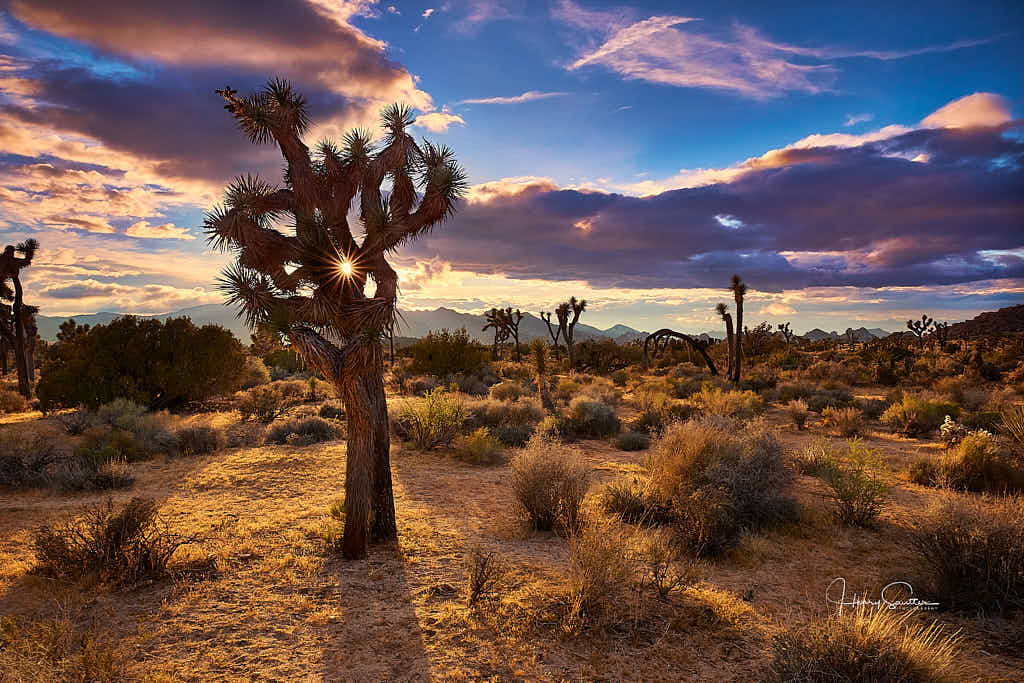 Sunsetting behind a Joshua Tree