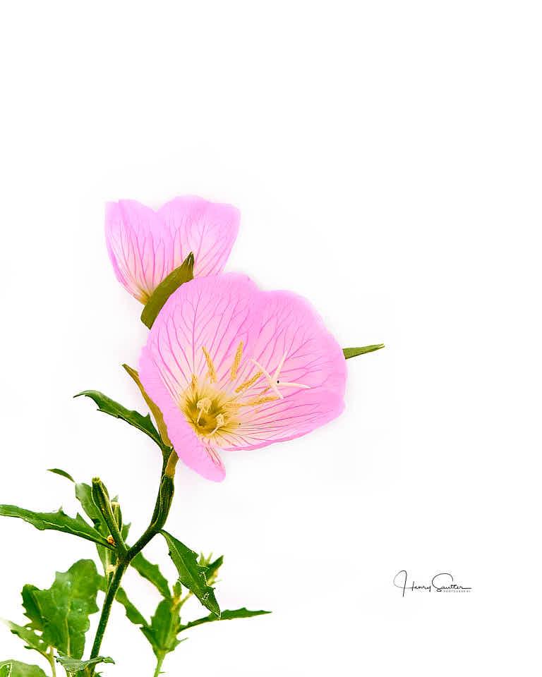 Pink Buttercups