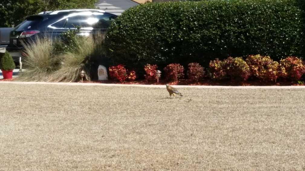 hawk on ground view 2