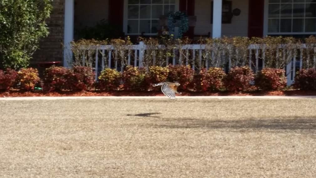 hawk in flight