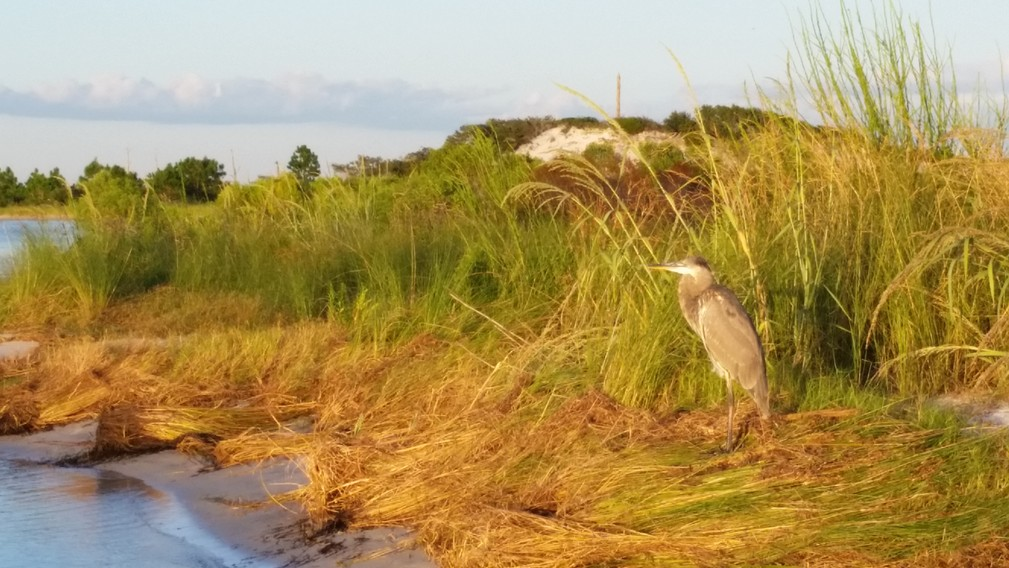 blue heron in the late afternoon sun