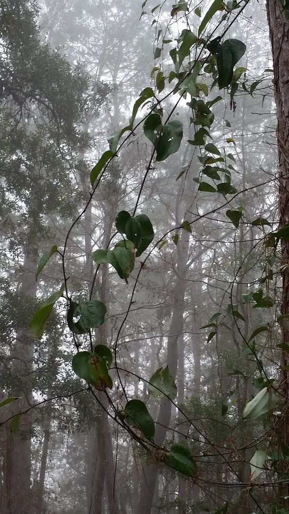 Vertical photo of vines growing along a long leaf pine in the woods with fog in the background