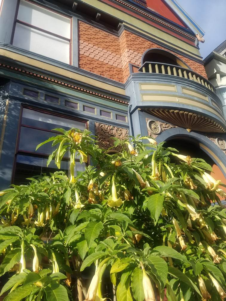 Angel's Trumpet on SF Streets