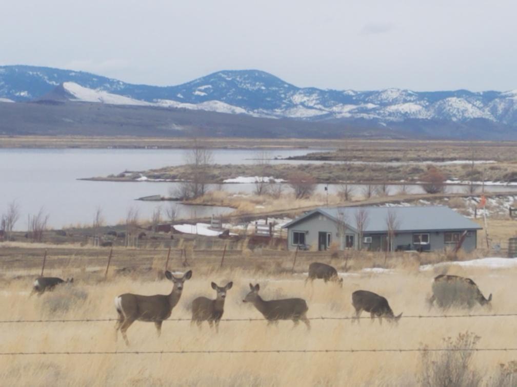 Deer at Lake Albert