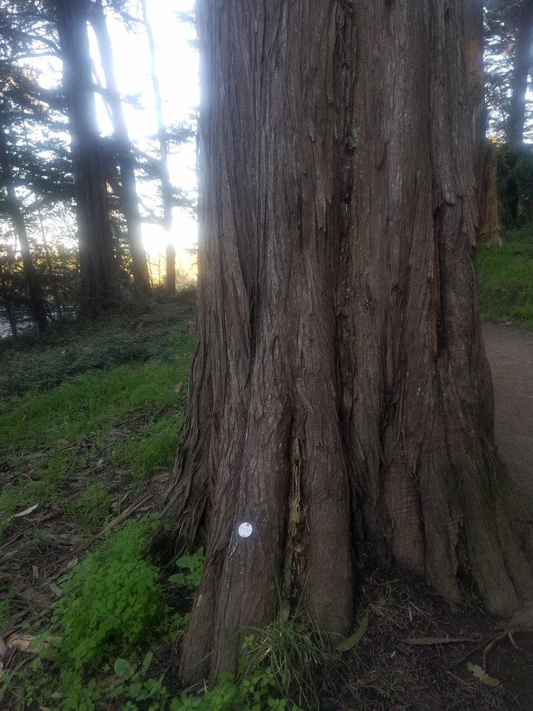 Monterey Cypress 6455