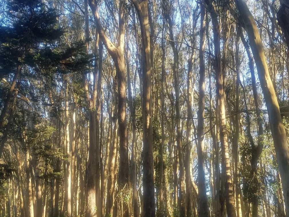 Monterey Cypress in the Golden Hour