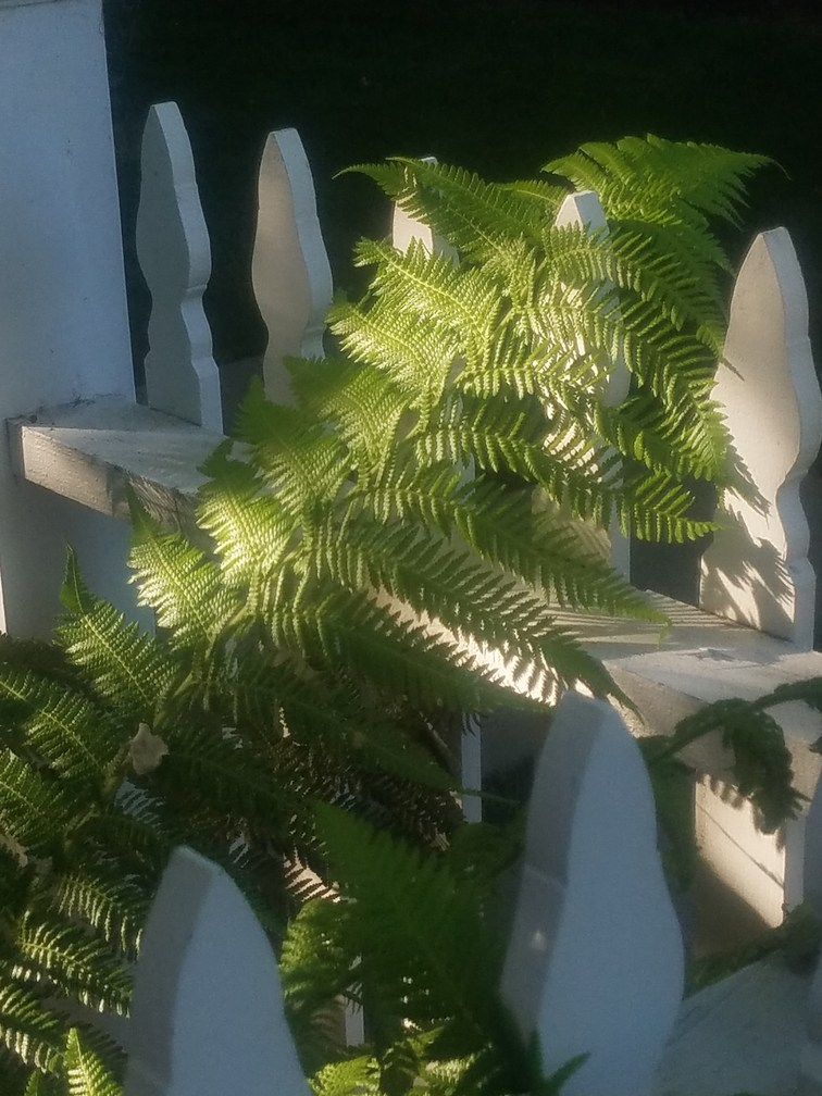 ferns on white picket fence