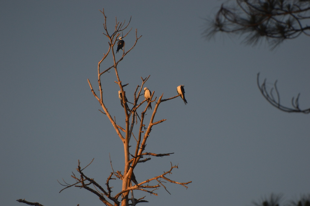 Kites Roosting in a Dead Tree