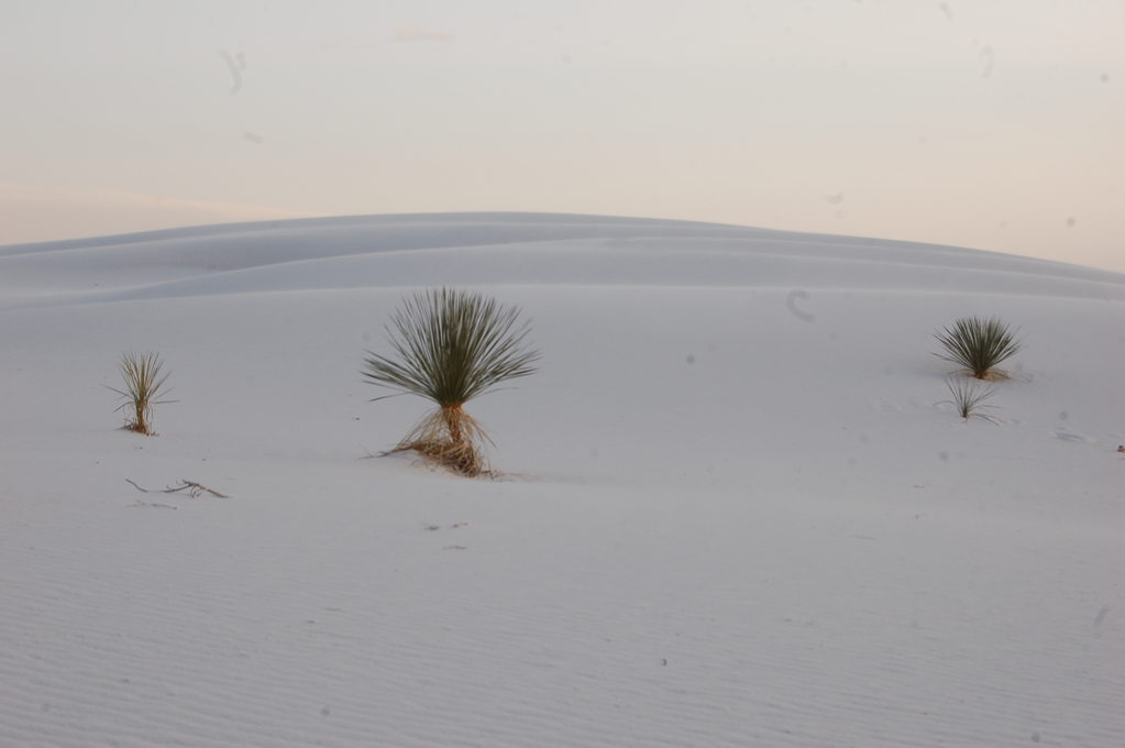 Yucca Plants against a White Dune