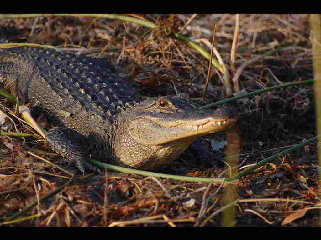 Alligator at Wakulla Springs