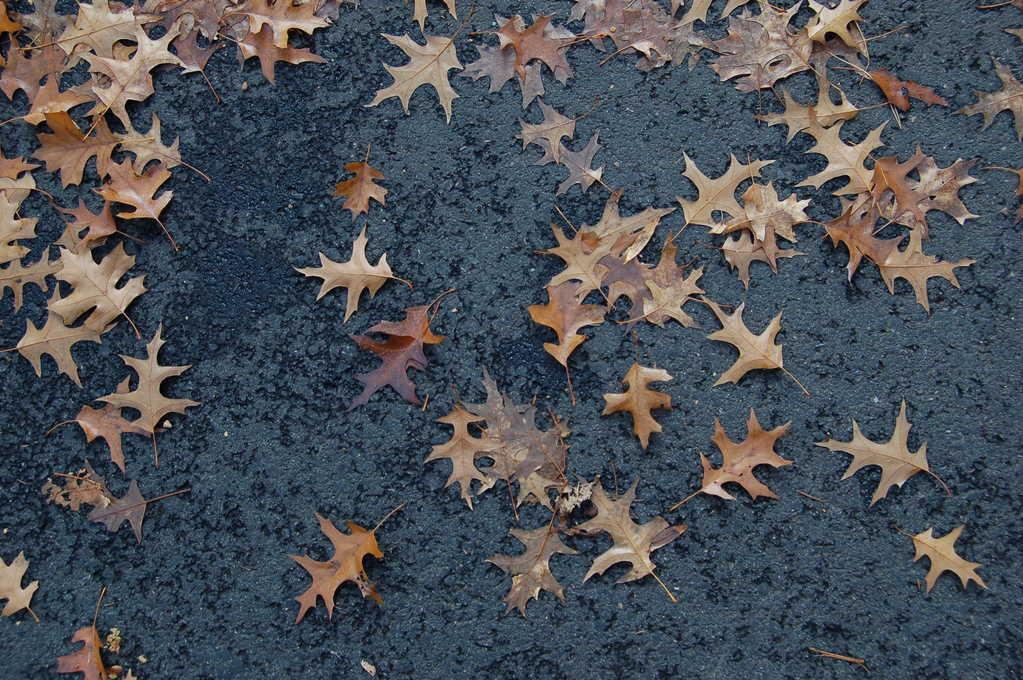 scattered oak leaves against black asphalt in the fall