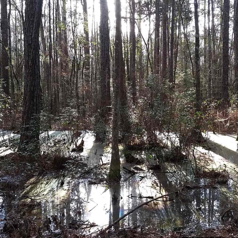 Swamp Shadows