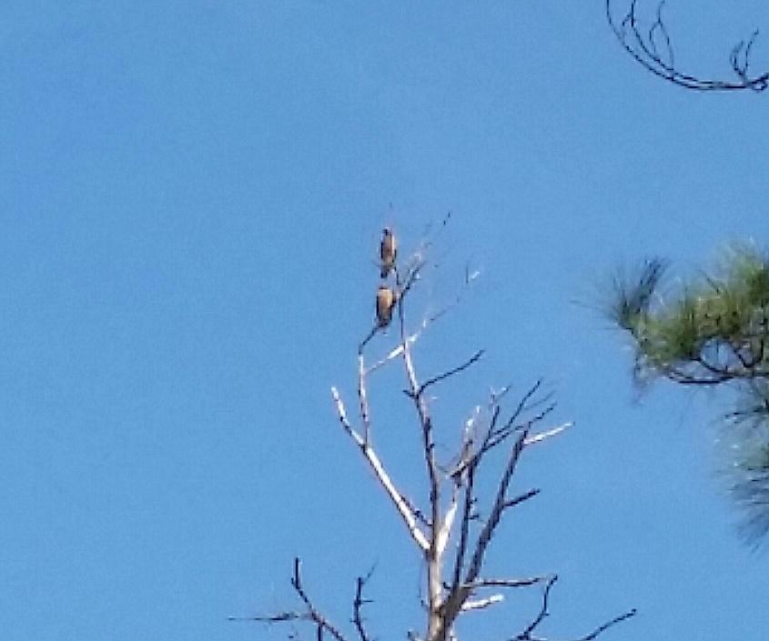 pair of hawks