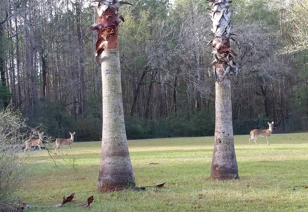 three deer on the lawn