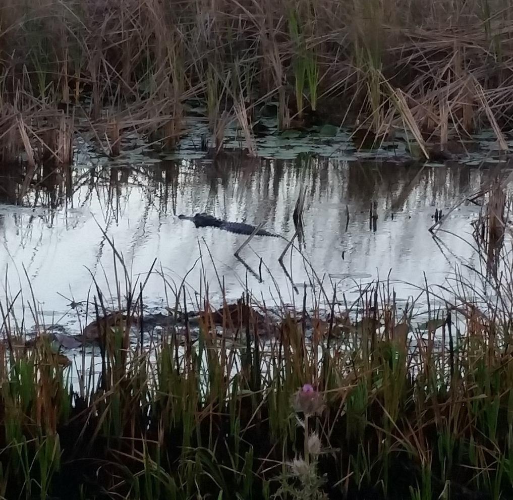 Alligator at Dusk