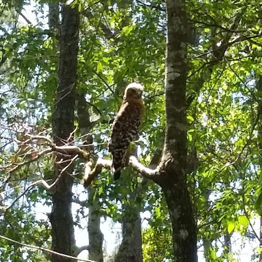 hawk on gmund trail