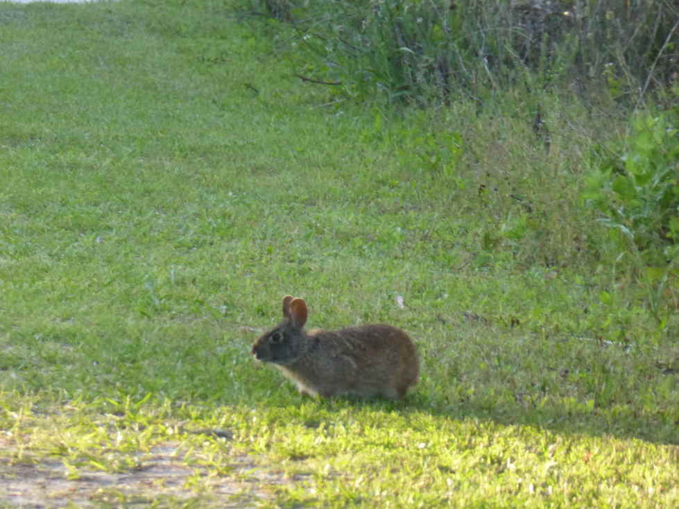 Rabbit on the path at St. Mark's