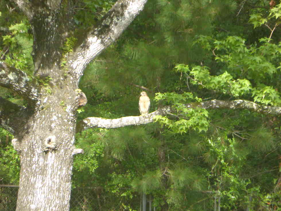Hawk in the Walnut Tree