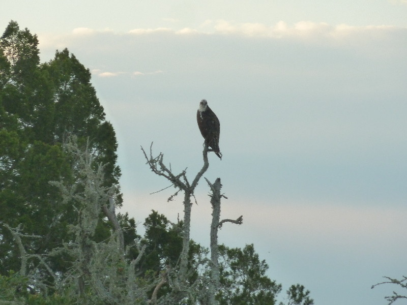 Eagle in the trees