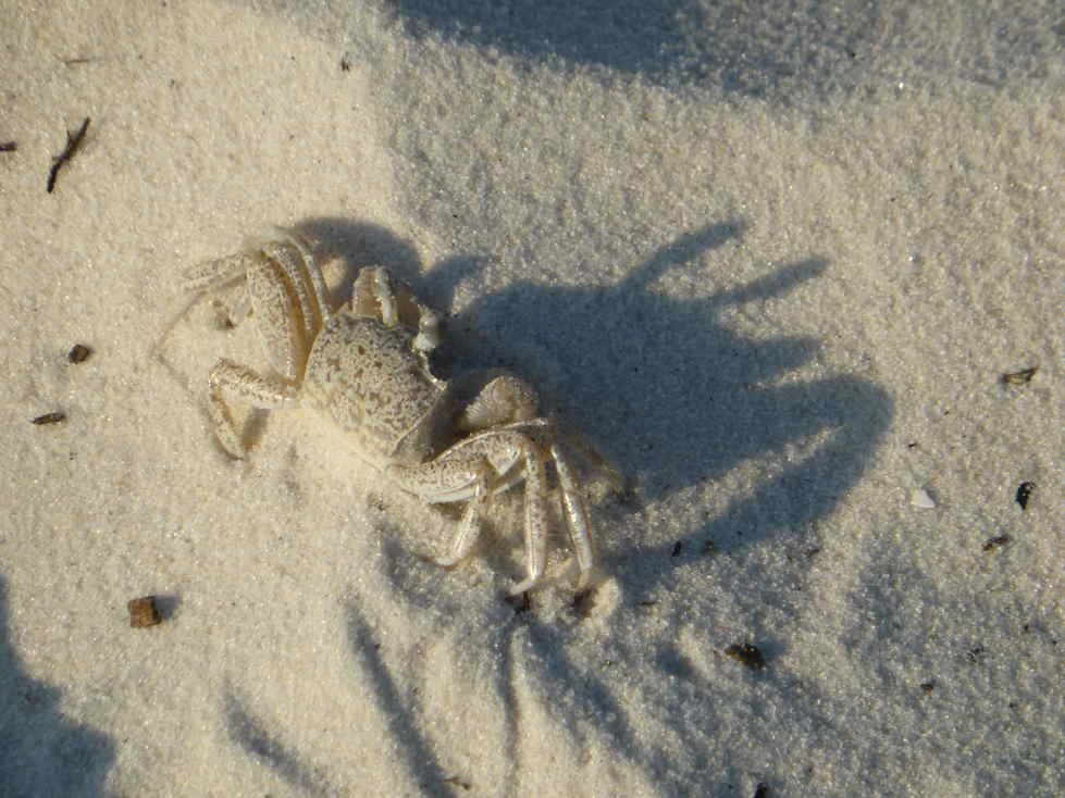 Ghost Crab on the Forgotten Coast