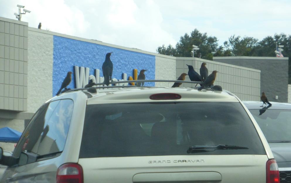 Birds Congregate on a Car