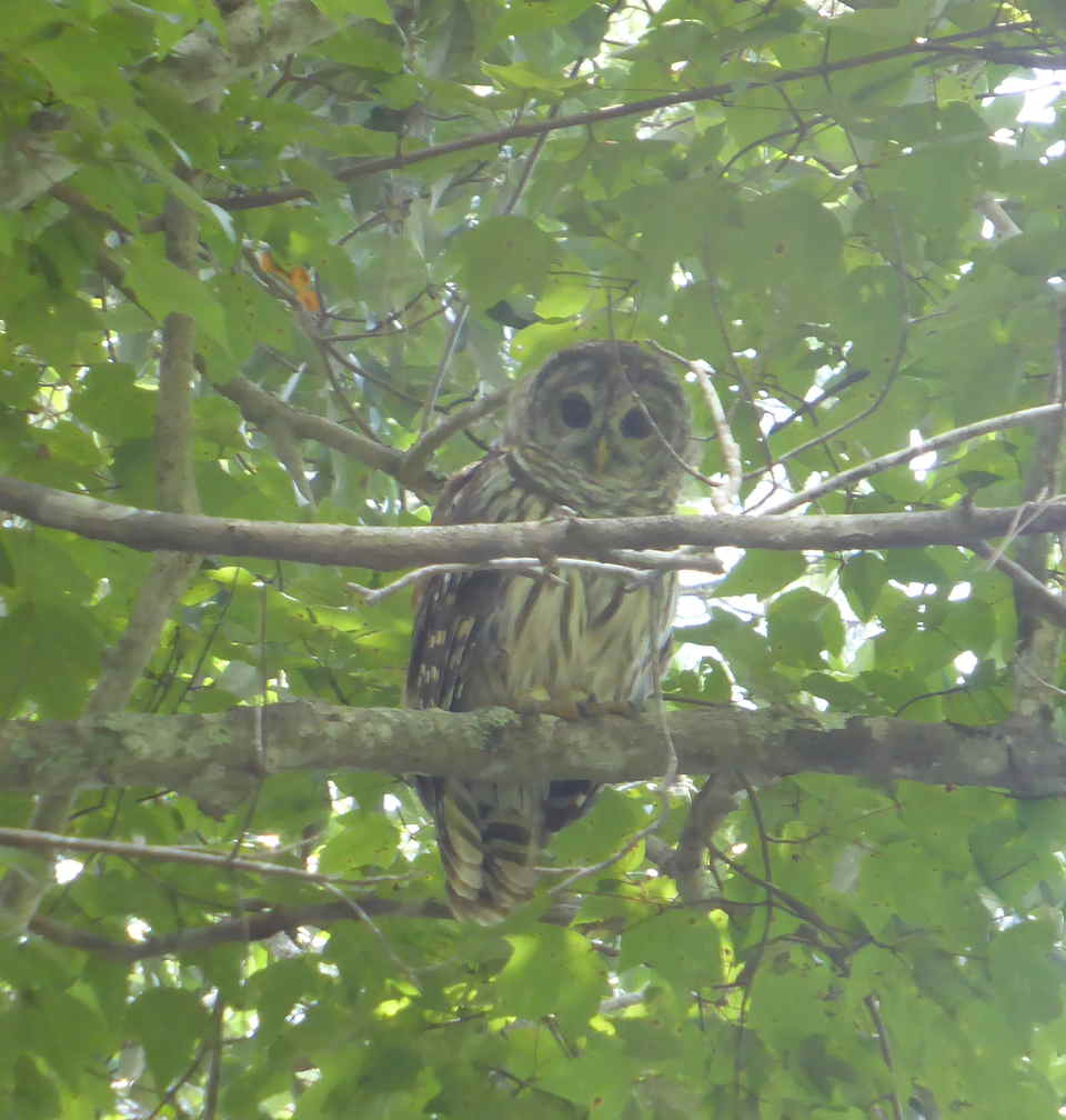 Barred Owl on East Bay River