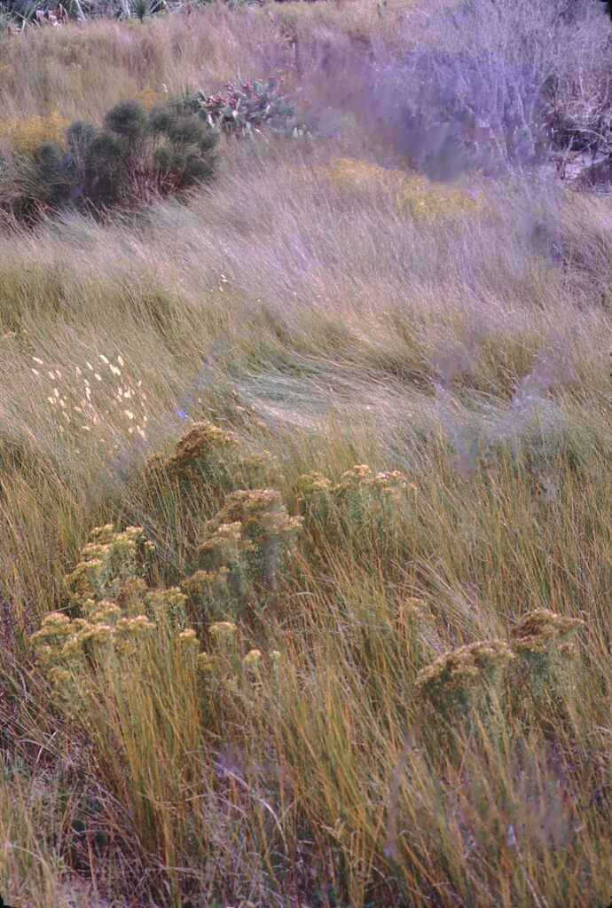 a field of tall grasses and what looks like golden rod