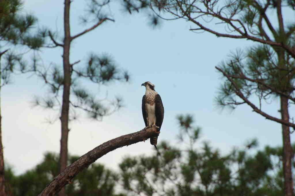 North Florida Osprey