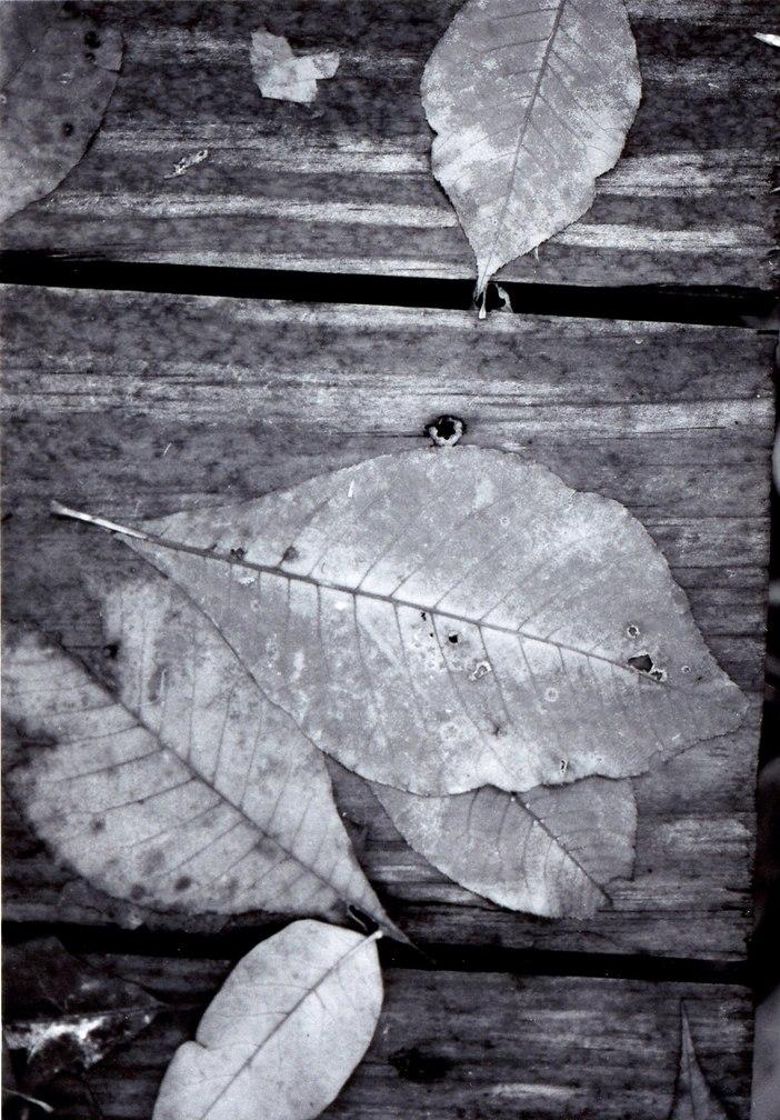 b&w image of leaves on wood
