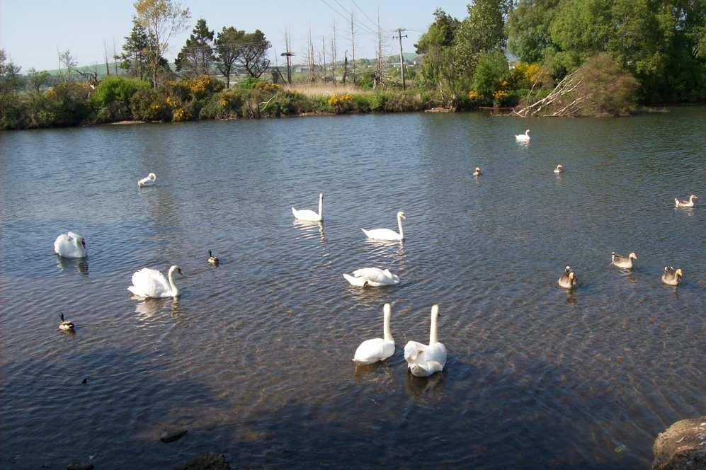 Swans and ducks in river near Arklow, Co Wicklow, Irelan