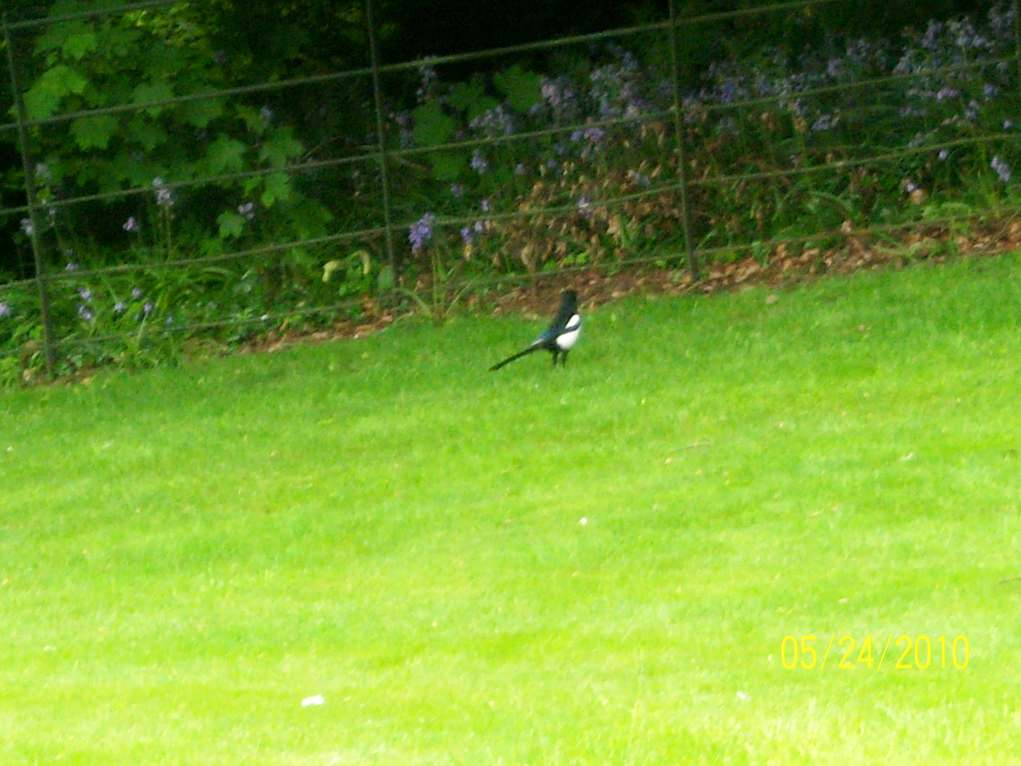 Magpie in the grass