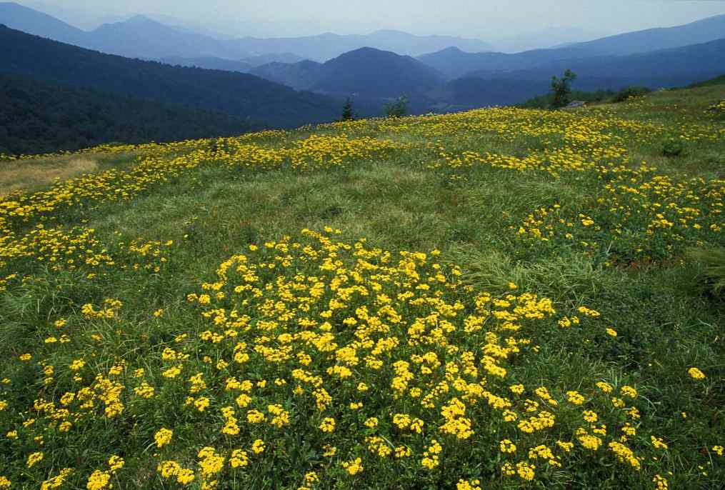 Yellow flowers in mountains