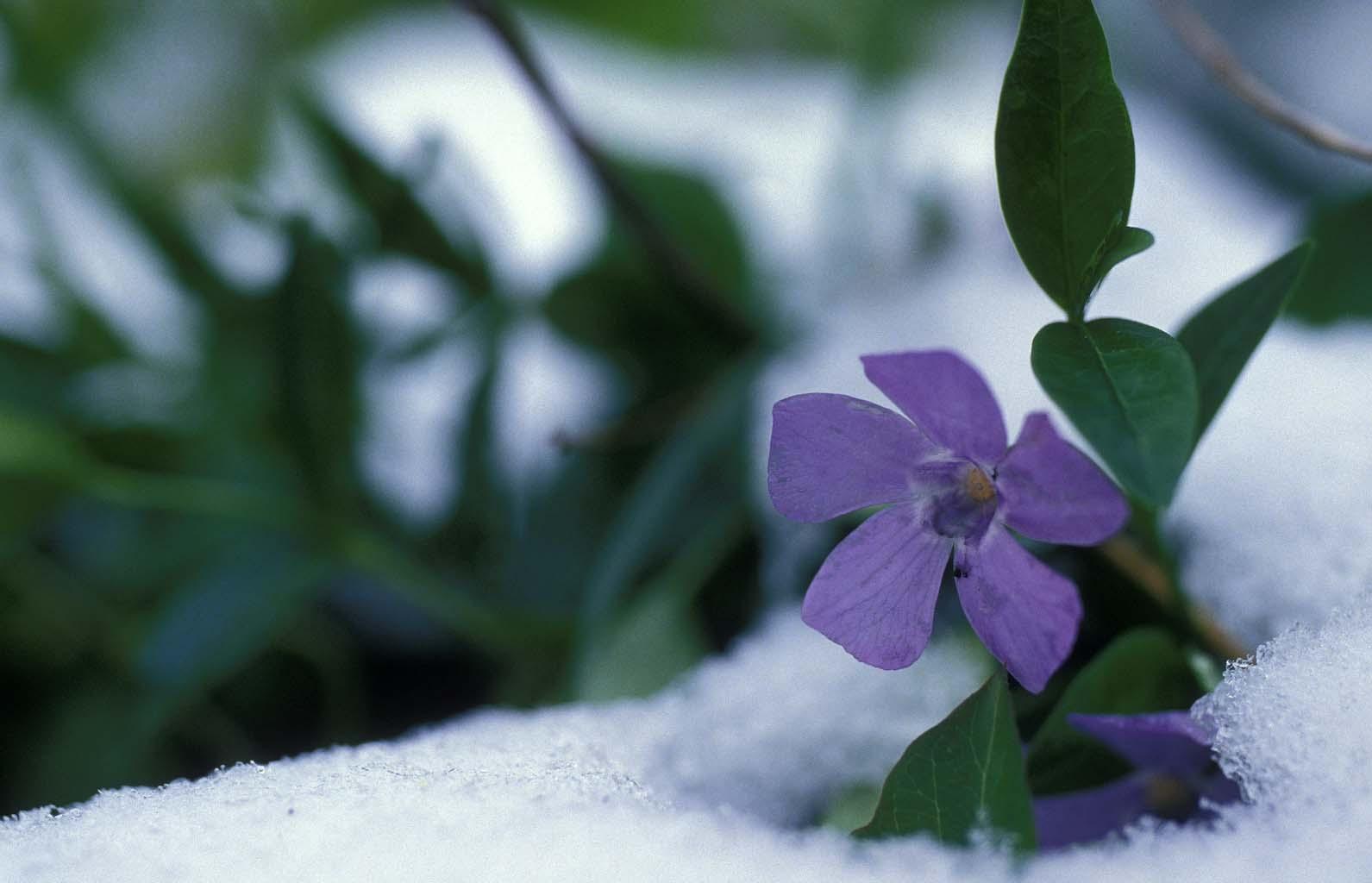 Purple flower blooming in snow