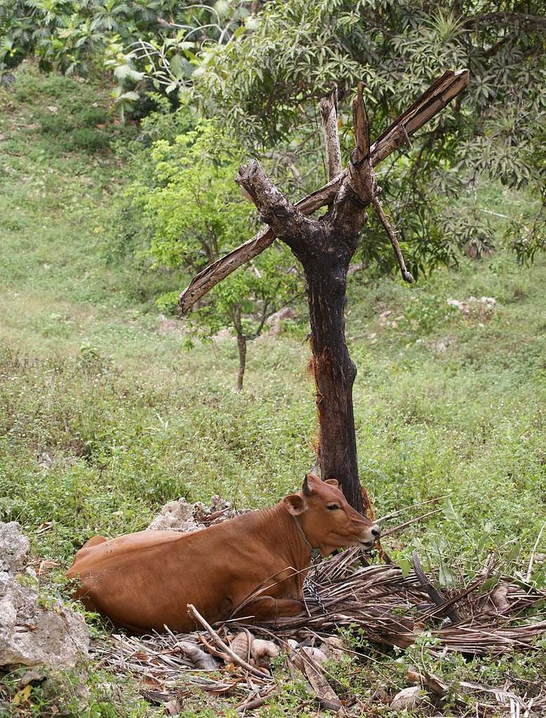 cow under a tree