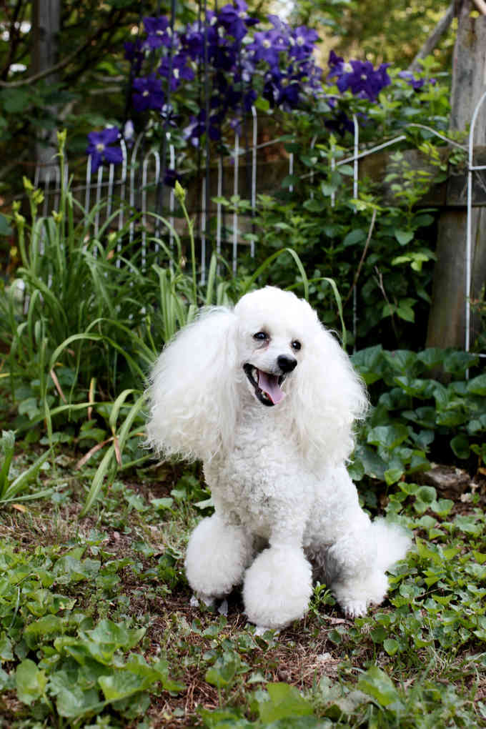 The Adventures of the Magical Poodles