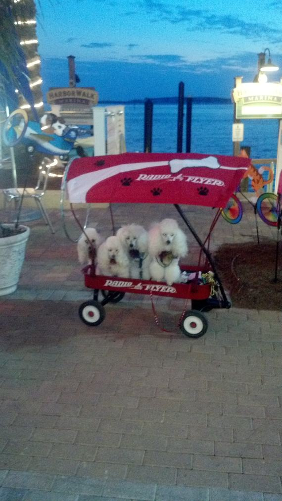 Wagon full of poodles